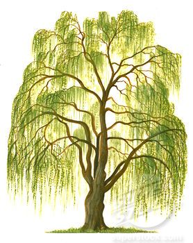Salix clipart banner free Drawing weeping willow tree clip art | Art | Willow tree ... banner free