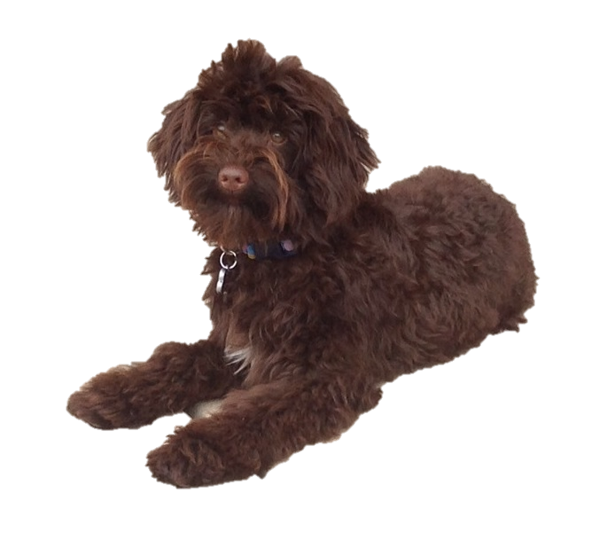 Schnoodle picture clipart images gallery for free download ... picture library library
