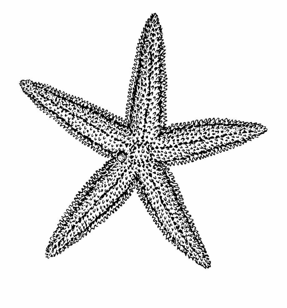 Sea star vector clipart clip art royalty free stock Sea Star Vector Freeuse - Starfish Clipart Black And White ... clip art royalty free stock