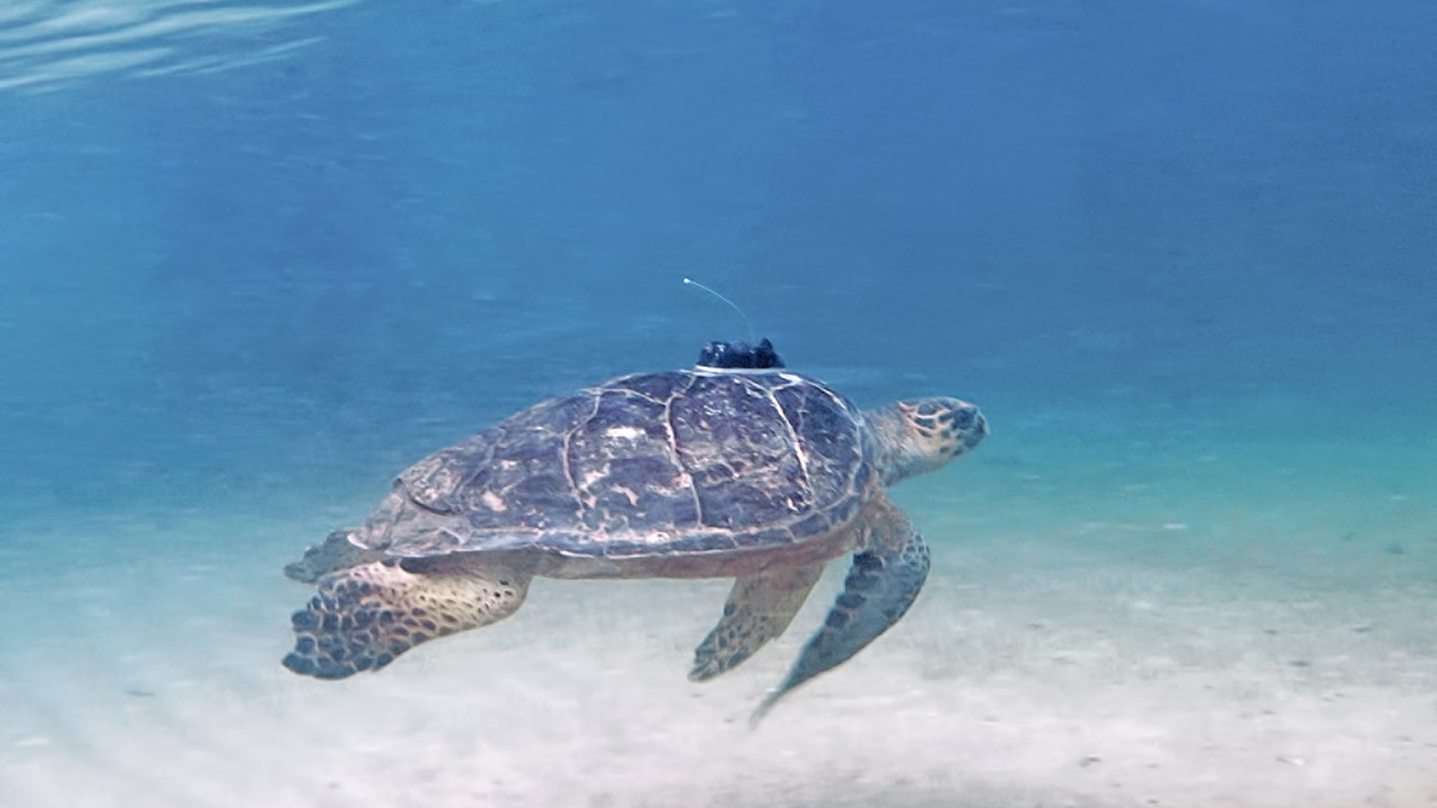 Sea turtle conservancy clipart vector download Four Seasons Resort Nevis and Sea Turtle Conservancy ... vector download