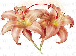 Self pollinating flower clipart graphic royalty free self pollination | Pollination in action graphic royalty free