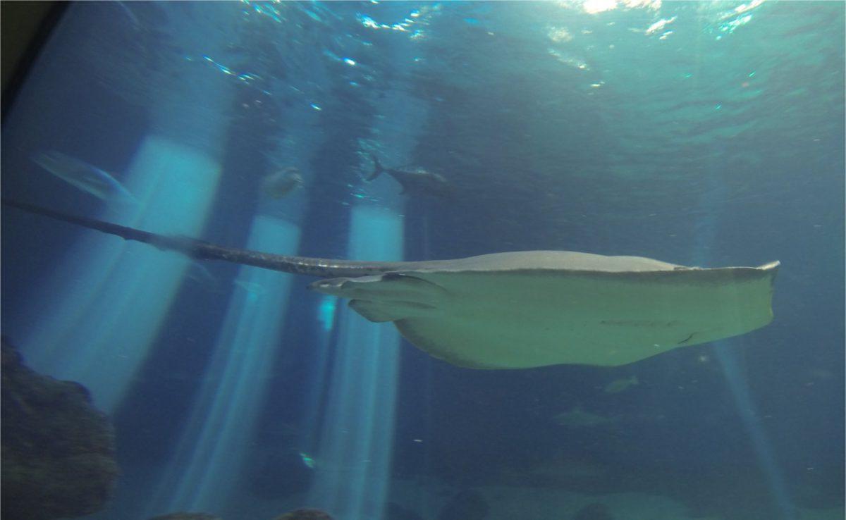 Shark chasing swimmer clipart jpg black and white Sharks and Stingrays - Surf Club Maui jpg black and white