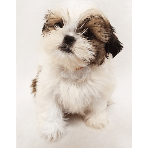 Shih tzu puppies clipart picture freeuse download Pictures of shih tzu puppies clipart images gallery for free ... picture freeuse download
