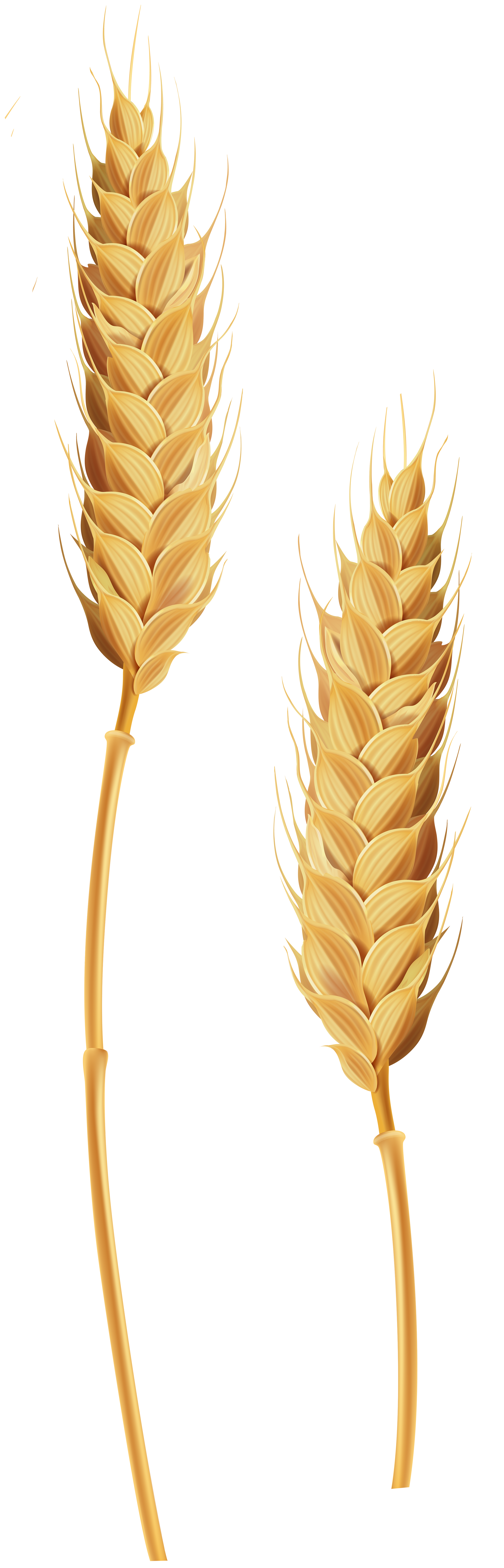 Shock of wheat clipart with transparent background png royalty free Wheat clipart transparent background, Wheat transparent ... png royalty free