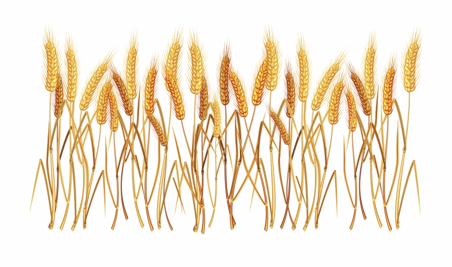 Shock of wheat clipart with transparent background vector library stock Download for free 10 PNG Crops clipart wheat Images With ... vector library stock