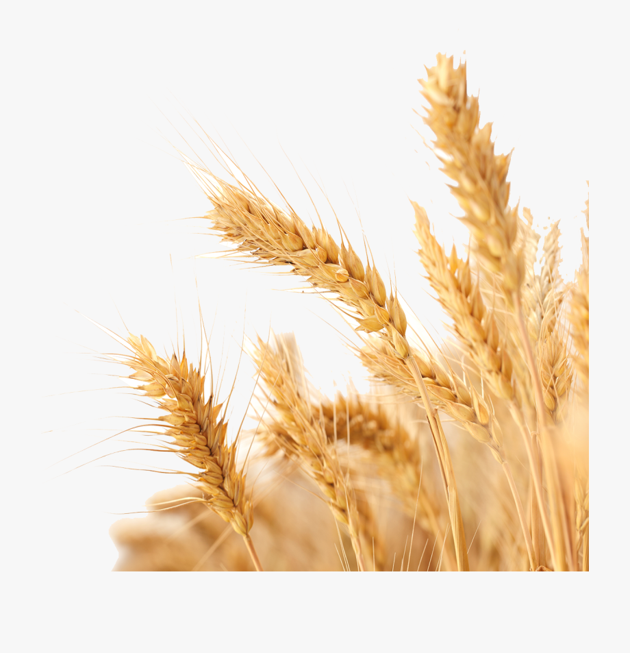Shock of wheat clipart with transparent background vector royalty free stock Harvest Wheat Crop Free Png Hq - Transparent Background ... vector royalty free stock