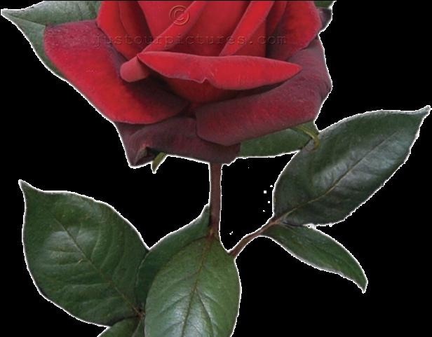 Short stem rose clipart jpg free download Red Flower Clipart Long Stem Rose - Single Red Rose Bud ... jpg free download
