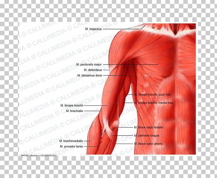 Shoulder muscle clipart