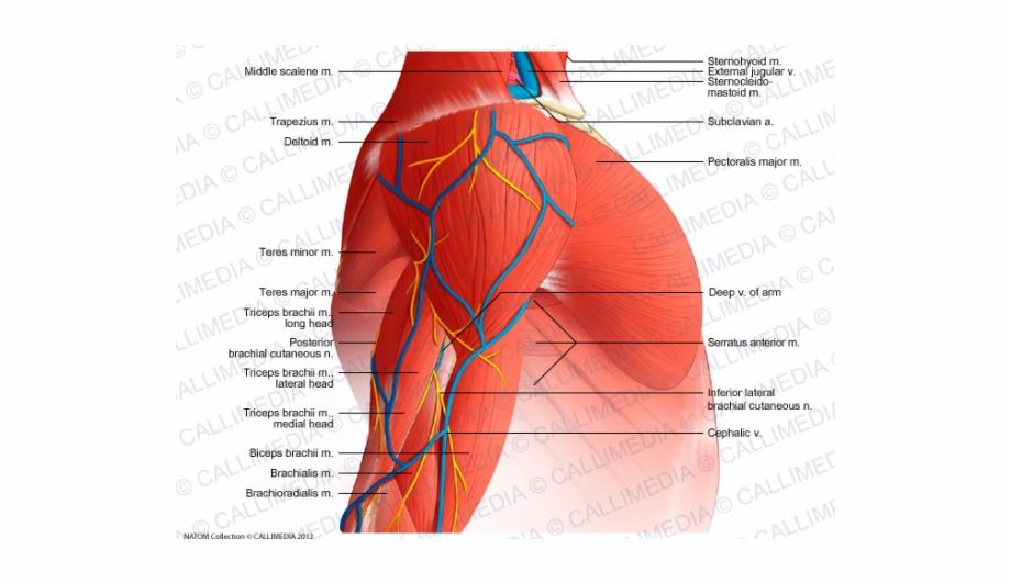 Shoulder muscle clipart image royalty free download Shoulder Muscle Png File - Nerves In The Deltoid Muscle Free ... image royalty free download