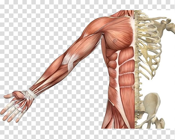 Shoulder muscle clipart png royalty free stock Skeletal muscle Muscular system Human skeleton Human body ... png royalty free stock