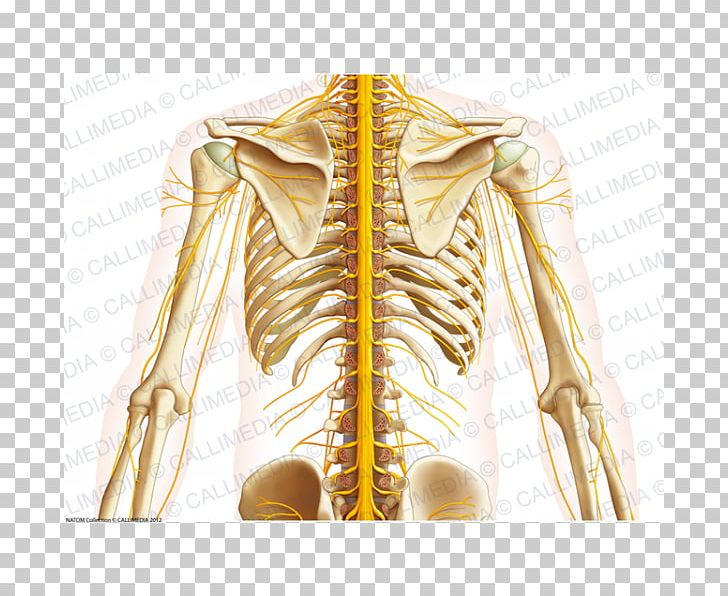 Shoulder muscle clipart clipart library library Nerve Shoulder Thorax Abdomen Neck PNG, Clipart, Abdomen ... clipart library library