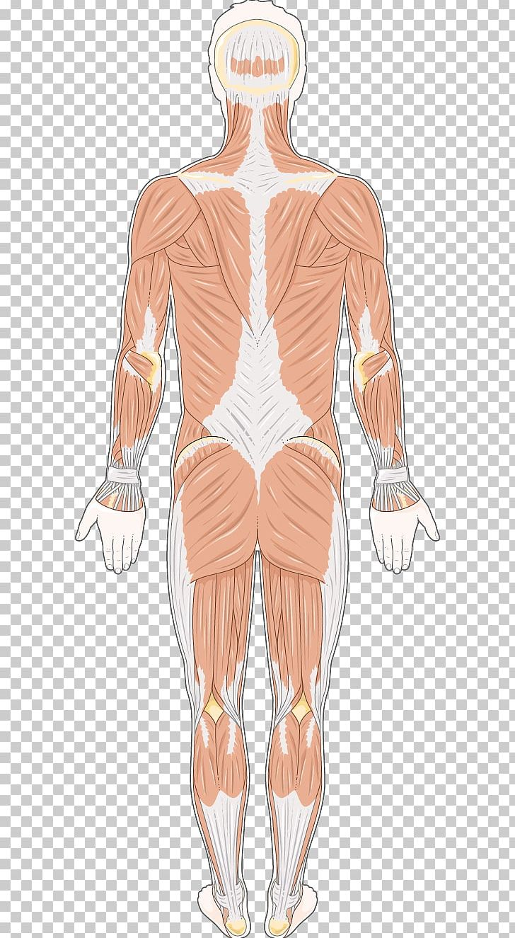 Shoulder muscle clipart clip art freeuse Human Leg Hip Thorax Shoulder Muscle PNG, Clipart, Abdomen ... clip art freeuse