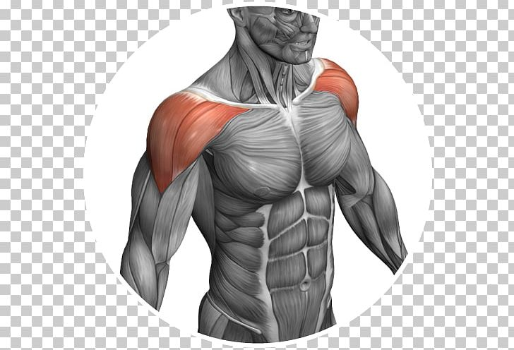 Shoulder muscle clipart image freeuse library Download for free 10 PNG Neck clipart shoulder Images With ... image freeuse library