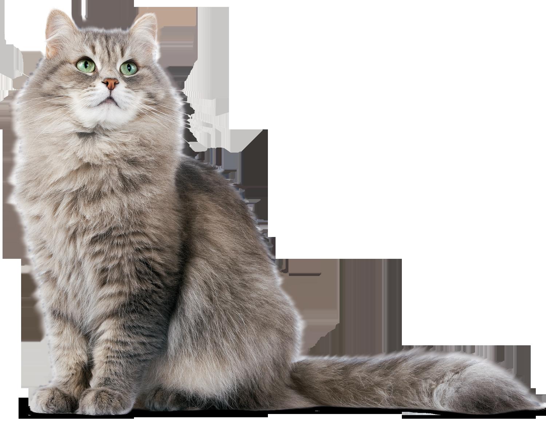 Siberian cat clipart jpg library download Siberian Cat PNG PNG Image - PurePNG   Free transparent CC0 PNG ... jpg library download