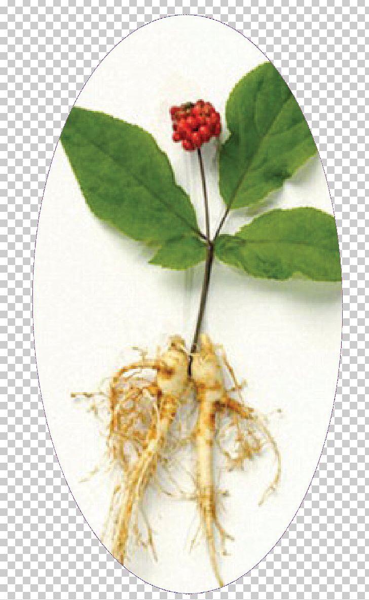 Siberian ginseng clipart image freeuse stock Asian Ginseng Dietary Supplement Herb Siberian Ginseng PNG ... image freeuse stock