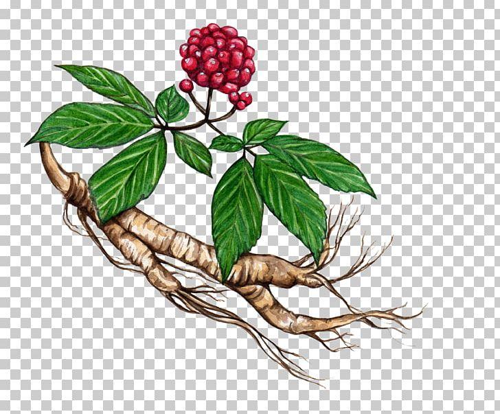 Siberian ginseng clipart jpg royalty free download American Ginseng Asian Ginseng Eleutherococcus Plant Herb ... jpg royalty free download