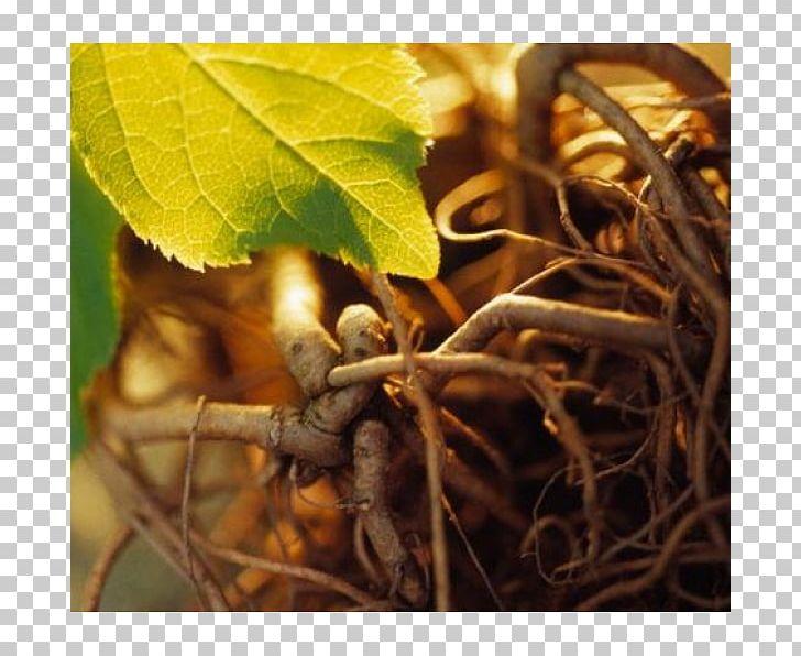 Siberian ginseng clipart free stock Siberian Ginseng Adaptogen Asian Ginseng Extract Health PNG ... free stock