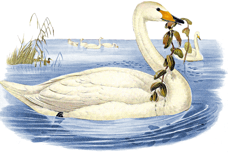 Signus clipart clipart library stock Whooper Swan Cygnus cygnus - /animals/birds/S/swan/Swan_2 ... clipart library stock