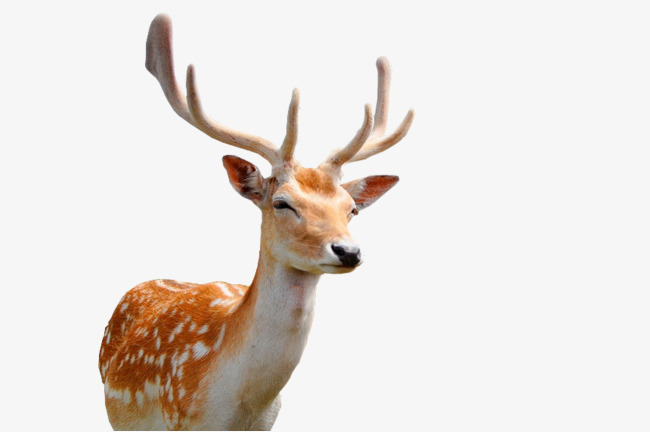 Sika deer clipart picture Sika Deer Face Closeup, Deer Clipart, Fa #76994 - PNG Images ... picture