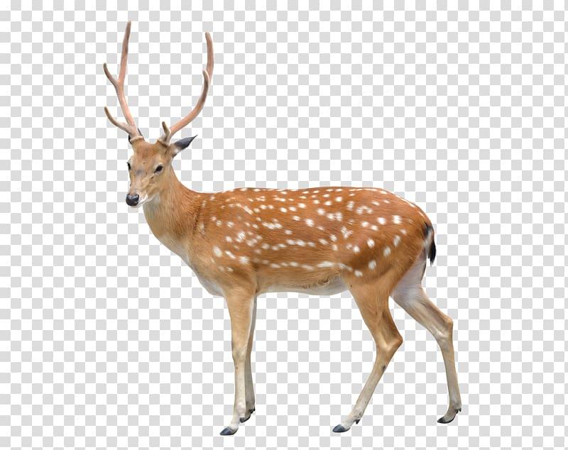 Sika deer clipart clip transparent Adult brown deer, White-tailed deer Roe deer Sika deer, Deer ... clip transparent
