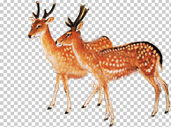 Sika deer clipart png download Red Deer Sika Deer PNG, Clipart, Adob, Animals, Antler ... png download