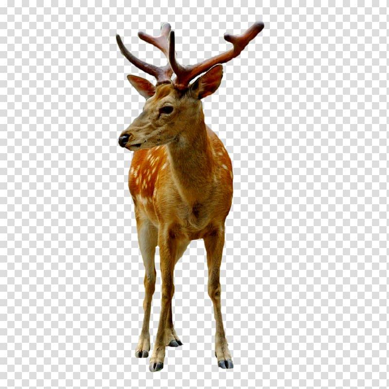 Sika deer clipart vector royalty free download Reindeer Sika deer White-tailed deer Antler, FIG deer ... vector royalty free download