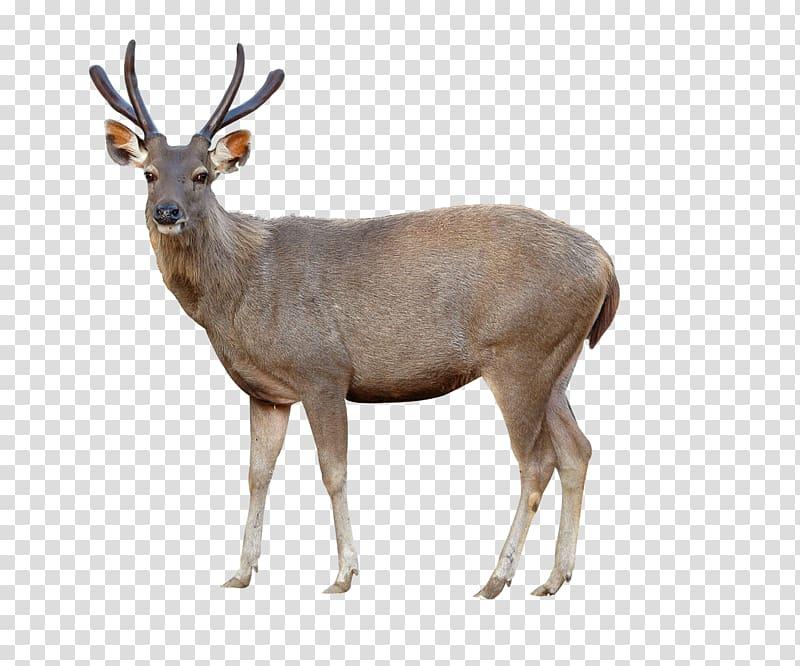 Sika deer clipart banner library Brown deer standing illustration, Red deer Sika deer Chital ... banner library