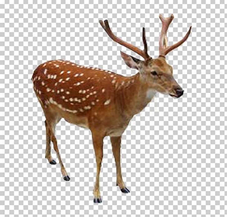 Sika deer clipart graphic stock Reindeer Elk White-tailed Deer Sika Deer PNG, Clipart ... graphic stock