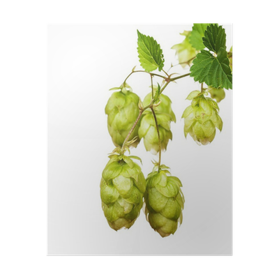 Simcoe hop clipart clip free stock Hop cones clipart images gallery for free download | MyReal ... clip free stock