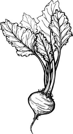 Simple drawing of rows of turnip garden clipart png royalty free stock sugar beet drawing - Google Search | Ink Board | Drawings ... png royalty free stock