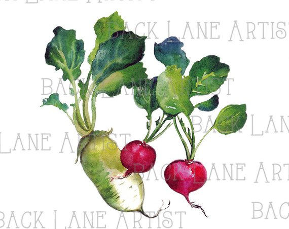 Simple drawing of rows of turnip garden clipart picture royalty free download Radish Drawing | Free download best Radish Drawing on ... picture royalty free download
