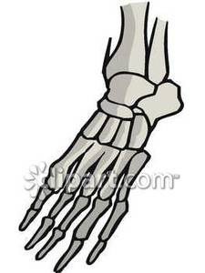 Skeleton feet clipart banner royalty free Skeletal Foot - Royalty Free Clipart Picture banner royalty free