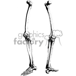 Skeletons leg clipart clipart William Cheselden vector leg bones anatomy art clipart. Royalty-free  clipart # 403127 clipart