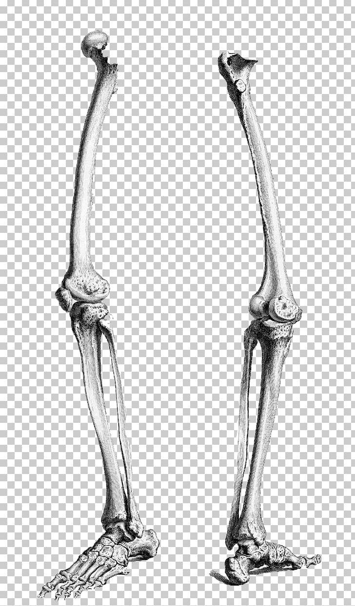 Skeletons leg clipart jpg library library Human Leg Human Skeleton Human Body Femur Anatomy PNG ... jpg library library