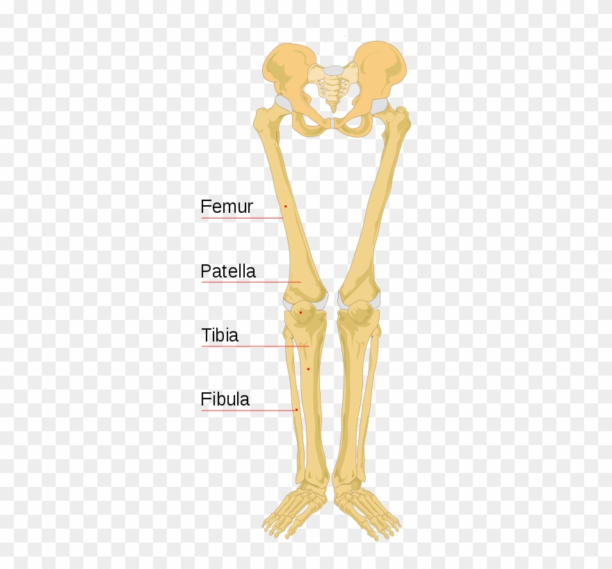Skeletons leg clipart clipart free stock File Human Bones Labeled - Labeled Leg Bone Diagram Clipart ... clipart free stock