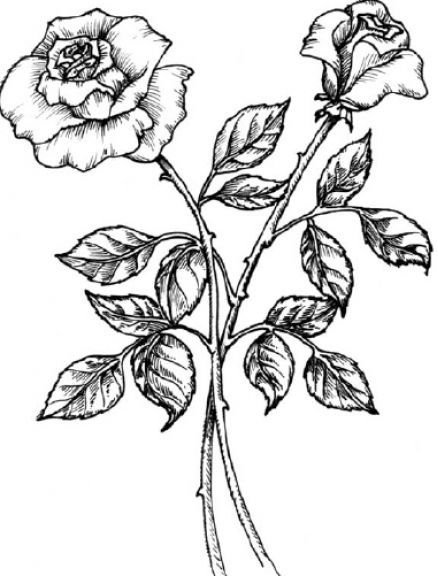 Sketch rose cliparts picture freeuse Black And White Pictures Of Roses - Cliparts.co | crafts ... picture freeuse