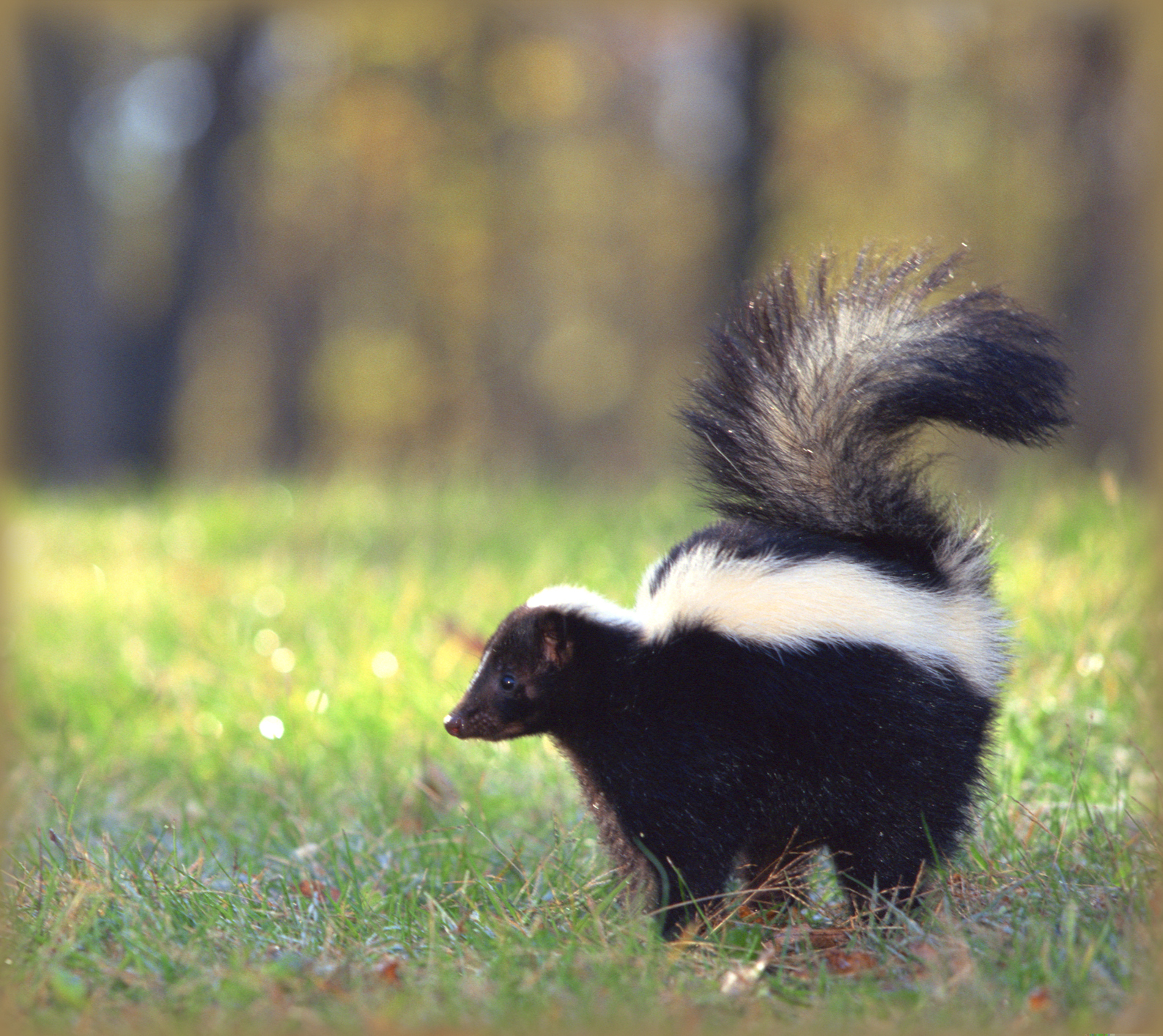 Skunk spraying human clipart banner download Skunks: How to Identify and Get Rid of Skunks in the Garden ... banner download
