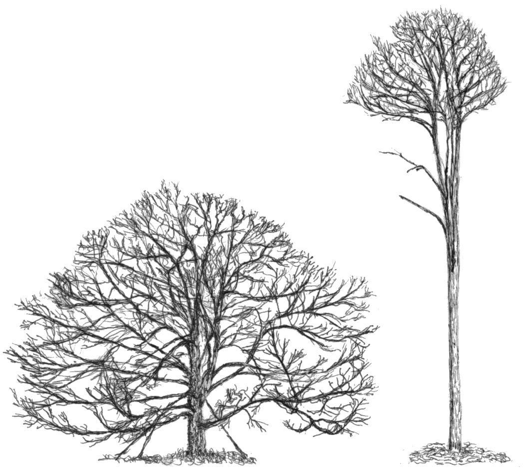Slender tree clipart clip art stock two different specimens of white oak. the specimen on the ... clip art stock