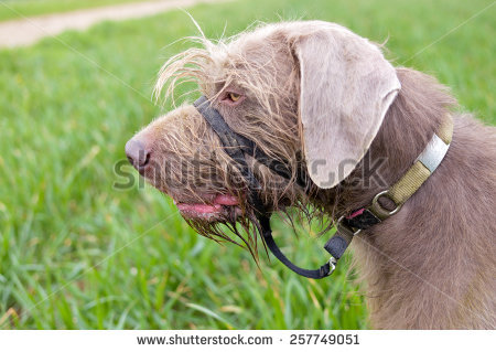 Slovakian rough haired pointer clipart image free library slovakian Nature