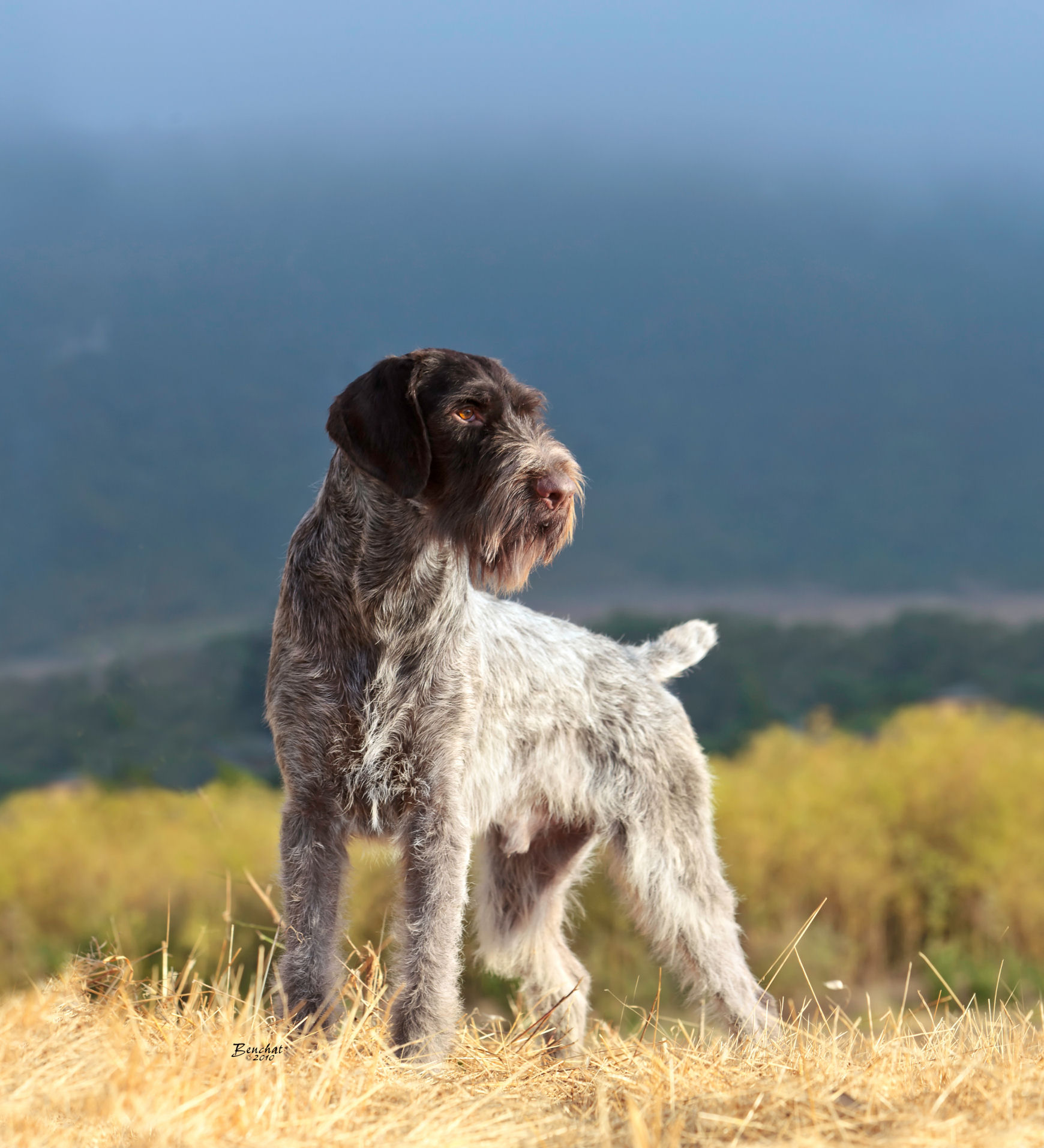 Slovakian rough haired pointer clipart royalty free Sharp Ideas Of Slovakian Rough Haired Pointer Usa | Funny Cat ... royalty free