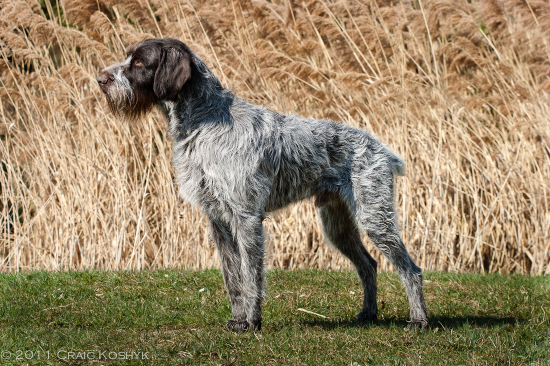 Slovakian rough haired pointer clipart image library download Sharp Ideas Of Slovakian Rough Haired Pointer Usa | Funny Cat ... image library download