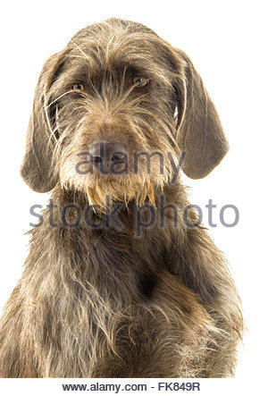 Slovakian rough haired pointer clipart clipart stock Slovakian Stock Photos & Slovakian Stock Images - Page 5 - Alamy clipart stock
