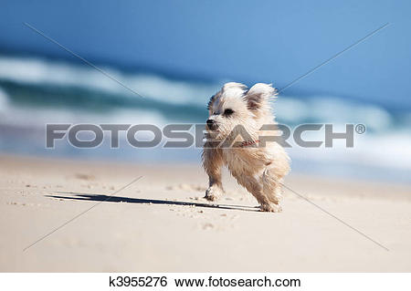 Small cute dog clipart png black and white download Stock Images of Small cute dog running on a white beach k3955276 ... png black and white download