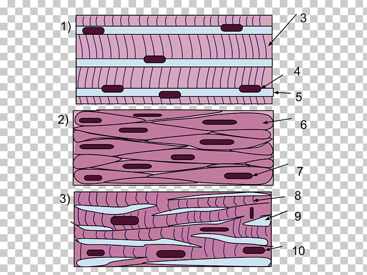Smooth muscle clipart banner royalty free Smooth muscle tissue Skeletal muscle, muscles PNG clipart ... banner royalty free