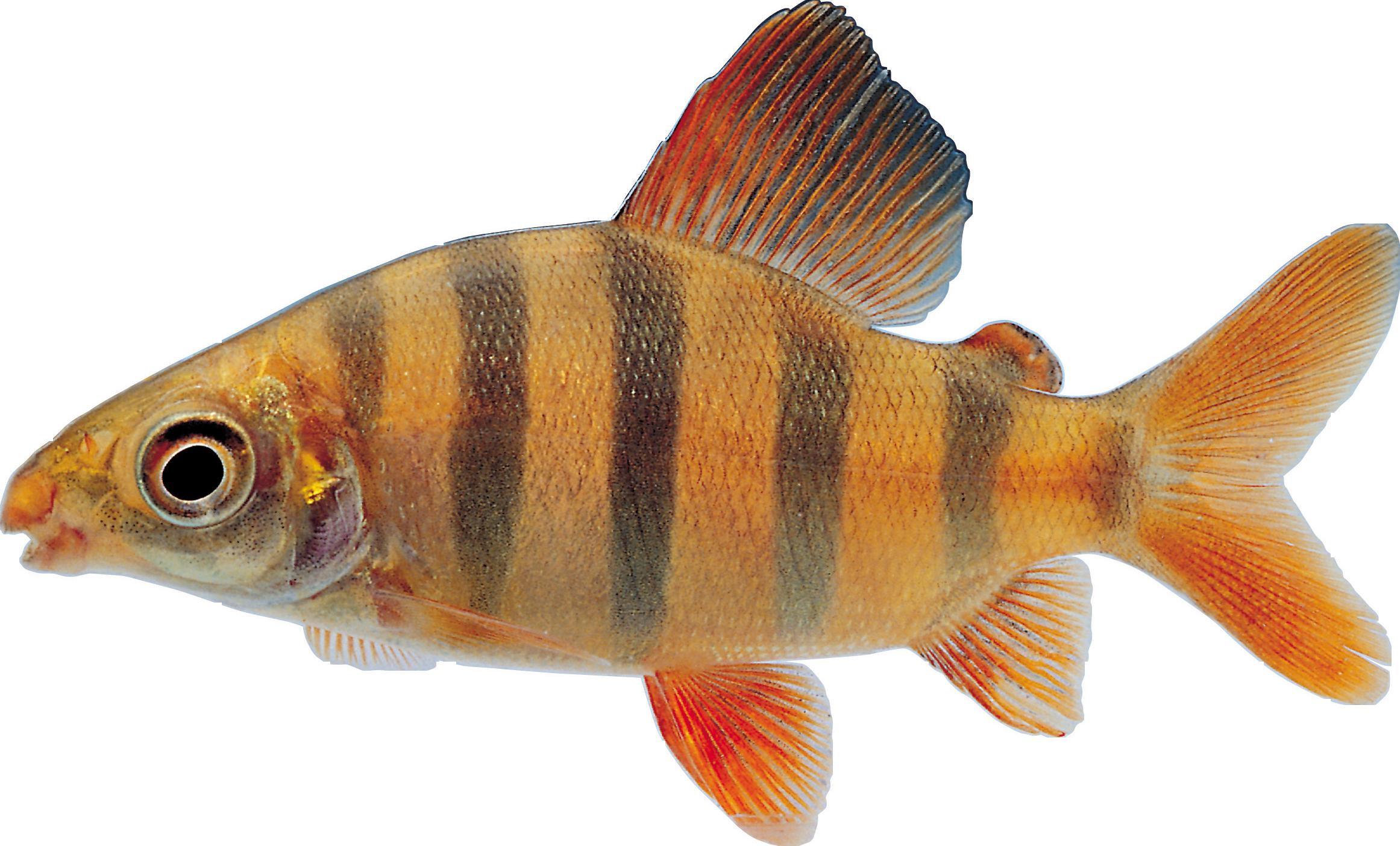Snapper fish clipart clip art free Fish PNG clip art free