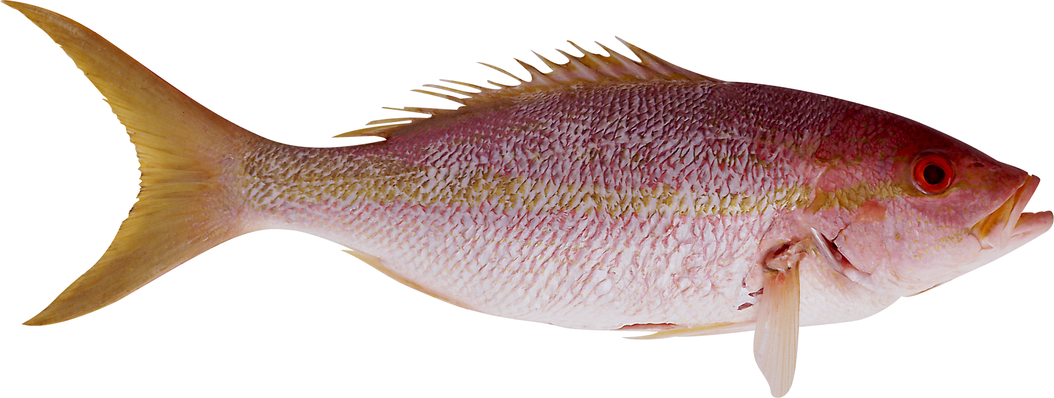 Snapper fish clipart png freeuse download Fish PNG image, free download png freeuse download