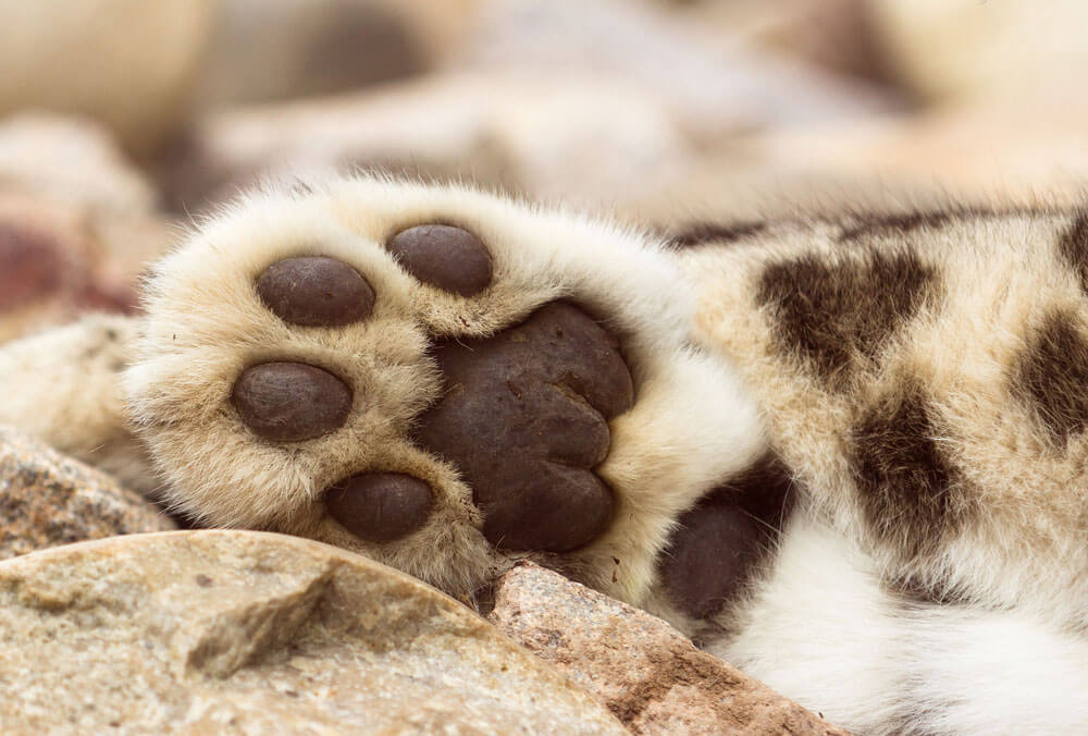 Snow leopard claw clipart jpg free download Physical Features - Snow Leopard Trust jpg free download