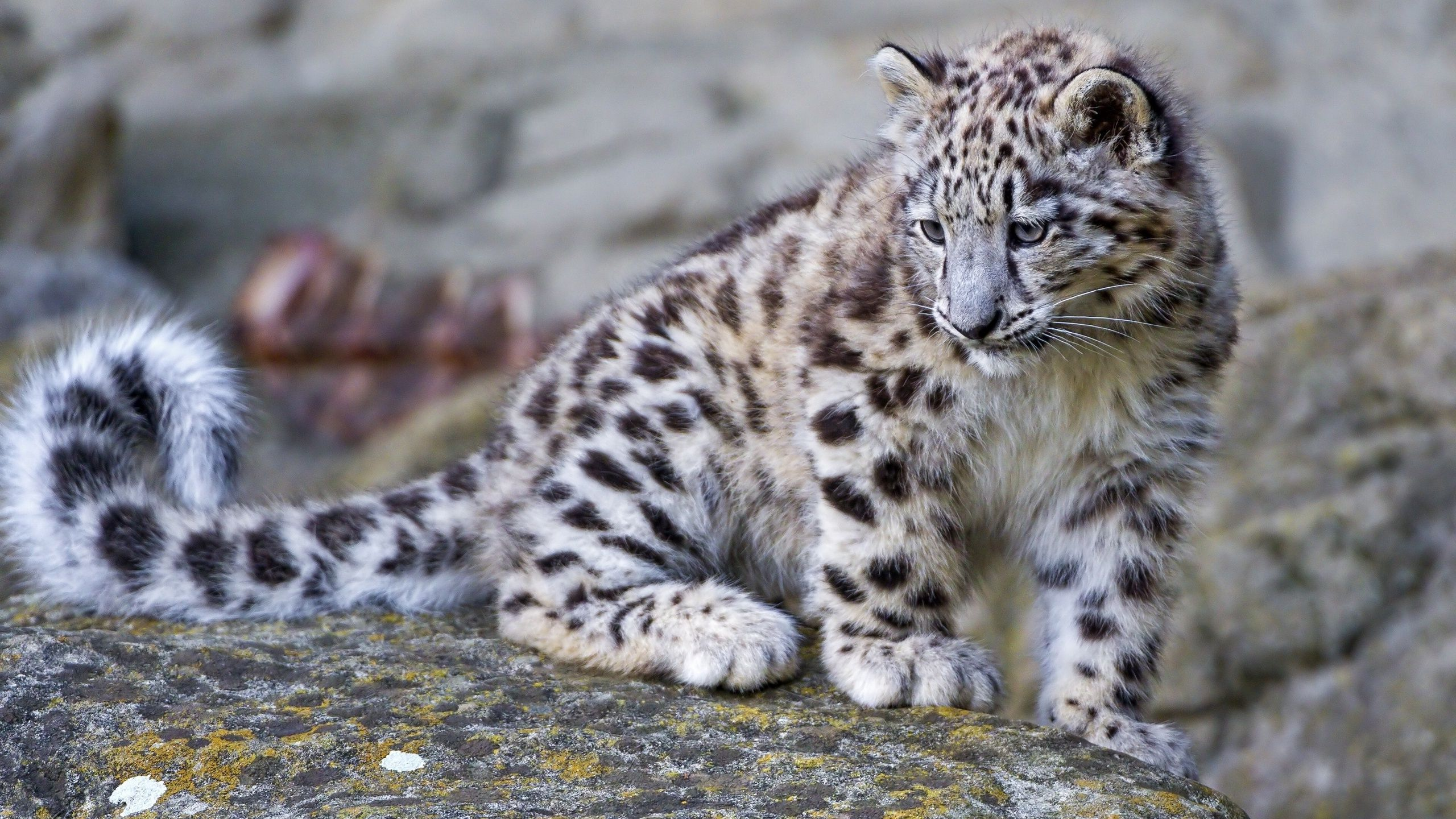 Snow leopard cubs clipart vector download Baby Snow Leopard Wallpapers - Wallpaper Cave vector download
