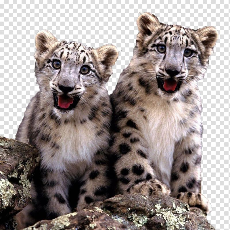 Snow leopard cubs clipart picture library The Snow Leopard Cat Felidae Fact, Two cute little snow ... picture library
