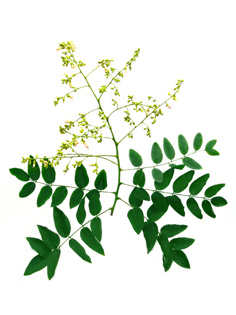 Sophora japonica clipart png royalty free Sophora japonica - Japanese Scholar Tree flowers and leave ... png royalty free